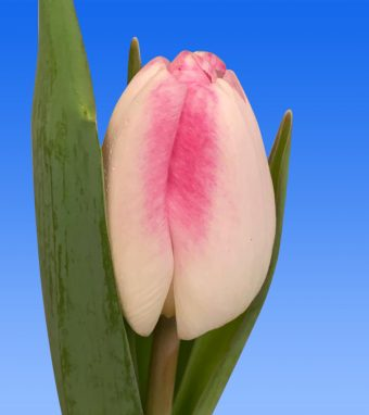 Image of an item from our rangetulipsAthena