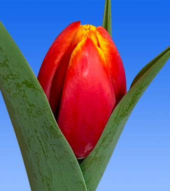 Image of an item from our rangetulipsCountdown
