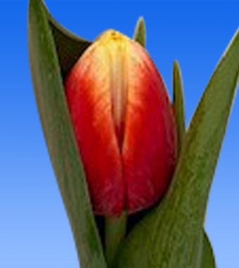 Image of an item from our rangetulipsEnergy 4 All