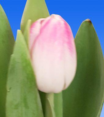 Afbeelding van een item uit ons assortimenttulipsFlorence
