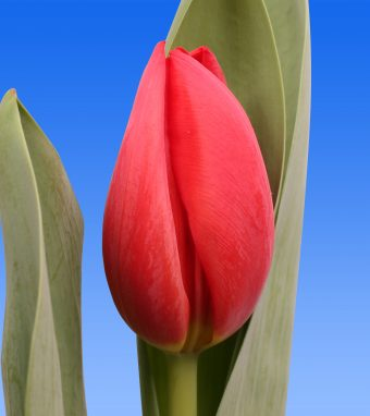 Image of an item from our rangetulipsHotspot