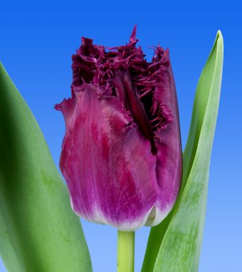 Image of an item from our rangetulipsPurple Chrystal