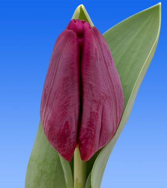 Image of an item from our rangetulipsPurple Eye