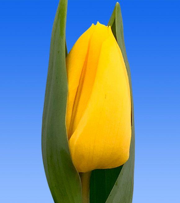 Afbeelding van een item uit ons assortiment Sunbeam