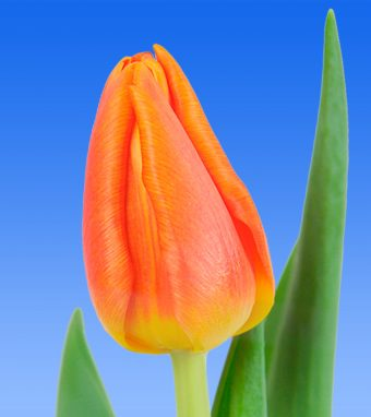 Image of an item from our rangetulips100% NL