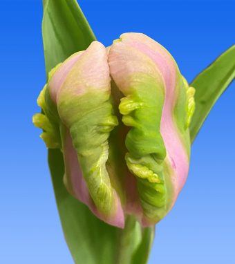 Image of an item from our rangetulipsAir
