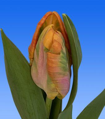 Afbeelding van een item uit ons assortimenttulipsAir orange/roze
