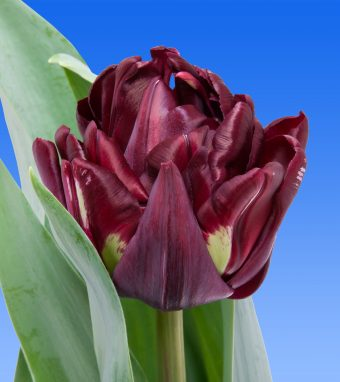 Image of an item from our rangetulipsCanyon