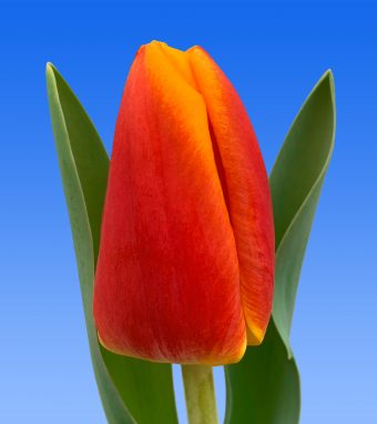 Image of an item from our rangetulipsCarpe Diem