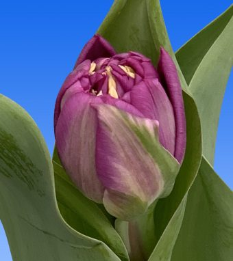 Image of an item from our rangetulipsCastella