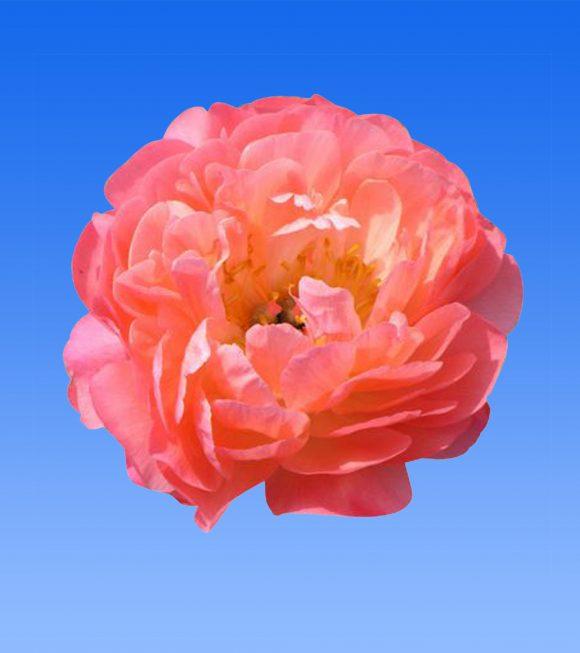 Afbeelding van een item uit ons assortiment Coral Sunset