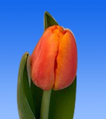 Image of an item from our rangetulipsCountus
