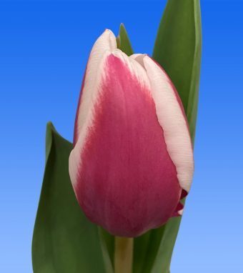 Image of an item from our rangetulipsCrossover