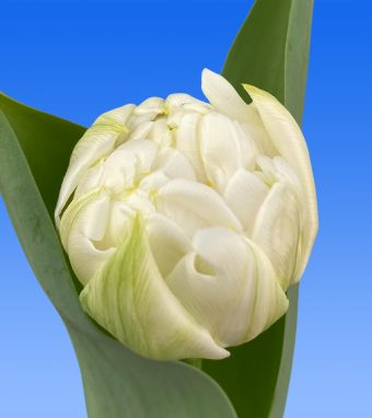 Image of an item from our rangetulipsDuchesse
