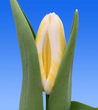 Afbeelding van een item uit ons assortimenttulipsDynasty wit/geel