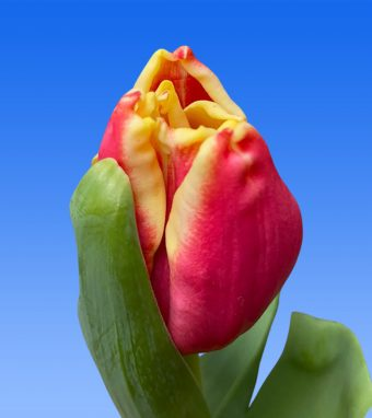 Image of an item from our rangetulipsElegant Crown