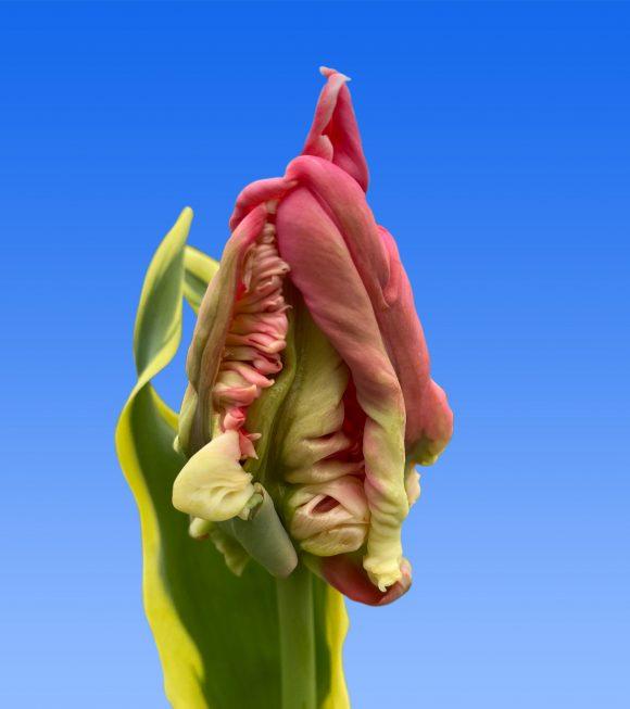Afbeelding van een item uit ons assortiment Hermani Parrot
