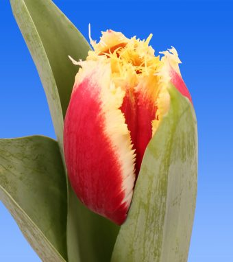 Image of an item from our rangetulipsHilscha
