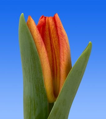 Image of an item from our rangetulipsMelbourne