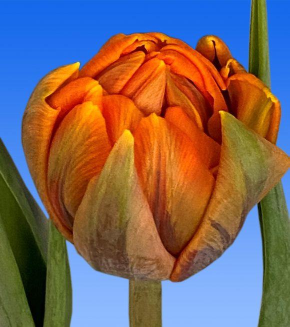 Afbeelding van een item uit ons assortiment Orange Princess