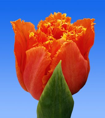 Image of an item from our rangetulipsOrange Passion
