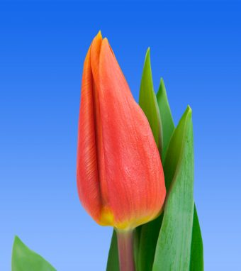 Image of an item from our rangetulipsTitan