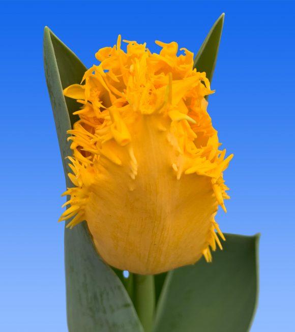 Afbeelding van een item uit ons assortiment Yellow Valery