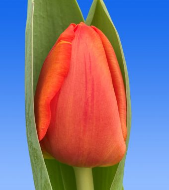 Image of an item from our rangetulipsCadans