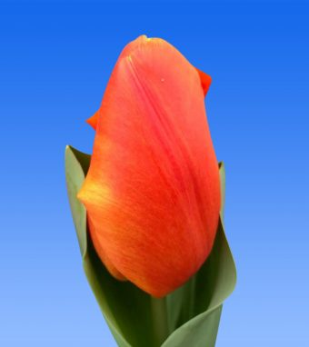 Image of an item from our rangetulipsOrange Sherpa