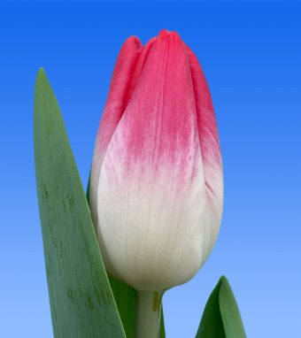 Image of an item from our rangetulipsTropical